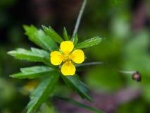 Tormentil or septfoil Potentilla erecta flower macro, selective focus, shallow DOF Royalty Free Stock Images