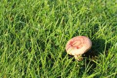 Torminosus del Lactarius del fungo Immagini Stock