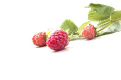 Torn forest sweet ripe raspberries with green branches Stock Photography