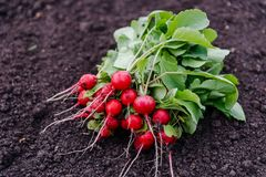 Torn with the beds of ripe red radishes. Torn from the garden ripe red radish lying on the ground Stock Image