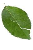 Torn leaf Stock Images