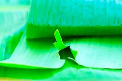 A torn leaf of the banana plant. The green leaf of the tropical banana leaf stock photo