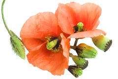 The torn off poppy. The broken life. Royalty Free Stock Photography