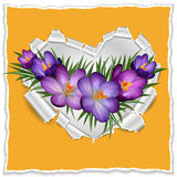 Torn paper heart with purple crocuses Royalty Free Stock Images
