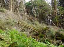 Tornado ravaged forest Stock Photography