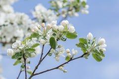 Tornar-se da mola de flores em botão e das folhas cor-de-rosa e brancas de dobramento de árvore de maçã Fotografia de Stock Royalty Free