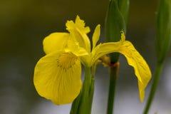 Torne iridescente a flor amarela do pseudacorus, close-up em um fundo verde imagens de stock royalty free