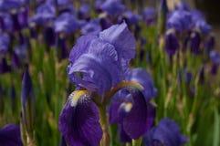Torne iridescente o pumila da íris das flores na grama na mola Imagem de Stock
