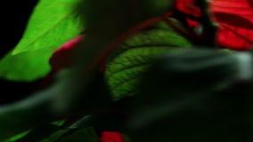 Torneado de la flor de la poinsetia almacen de metraje de vídeo