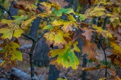 Torneado de las hojas del roble Foto de archivo libre de regalías
