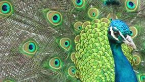 Torneado hermoso del pavo real almacen de metraje de vídeo