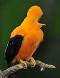 Torneira andina incomun do pássaro da rocha Fotografia de Stock Royalty Free