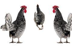 Torneira e galinha Foto de Stock Royalty Free