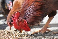 Torneira e galinha Fotografia de Stock Royalty Free