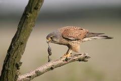 Tornfalk Falco tinnunculus Arkivbilder