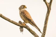 Tornfalk Falco tinnunculus fågeln ber royaltyfri foto