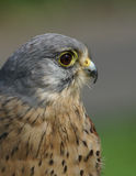 Tornfalk-/Falcotinnunculus Arkivfoton