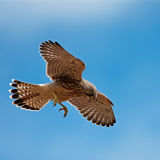Tornfalk första jakt (Falcotinnunculusen) Arkivfoton