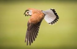 Tornfalk i flyg Arkivfoto
