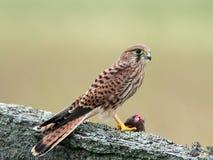 Tornfalk med henne lås (Falcotinnunculusen) Arkivbild