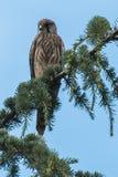 Tornfalken purched på ett stort sörjer trädet royaltyfria bilder
