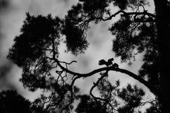 Tornfalkparkontur på sörja-träd Royaltyfria Bilder