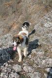 Tornjak (chien de montagne) Photo libre de droits