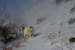 Tornjak, kroatischer Schäferhund im Schneesturm Lizenzfreie Stockfotografie