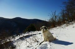 Tornjak kroatisk herdehund i snön Arkivfoton