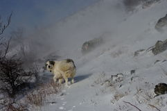 Tornjak kroatisk herdehund i snöstormen Royaltyfri Fotografi