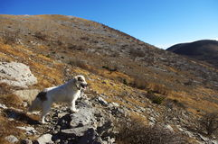 Tornjak kroatisk herdehund på berget Fotografering för Bildbyråer