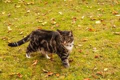 Tornozelo do gato de gato malhado profundamente na grama musgoso fotografia de stock