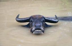 Toro adulto che riposa nello stagno Fotografie Stock Libere da Diritti