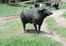 Toro americano Fotografia Stock