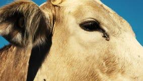 Toro australiano en la granja metrajes