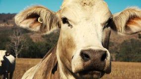 Toro australiano en la granja almacen de metraje de vídeo