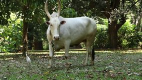 Toro bianco che gira al minimo nella regione selvaggia archivi video
