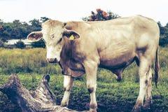Toro bianco che va in giro sull'azienda agricola fotografie stock libere da diritti