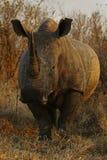 Toro bianco di rinoceronte Fotografia Stock Libera da Diritti