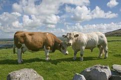 Toro bianco e mucca marrone Fotografie Stock Libere da Diritti