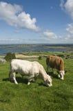 Toro bianco e mucca marrone Fotografia Stock