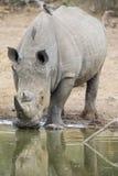 Toro bianco solo di rinoceronte che sta al bordo di un lago per bere Immagini Stock Libere da Diritti