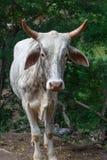 Toro blanco de una granja rural Fotos de archivo libres de regalías