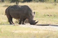 Toro blanco del rinoceronte Imagen de archivo