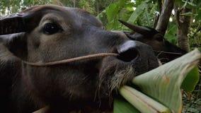 Toro che mangia foglia verde nel granaio Fotografia Stock