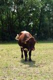 Toro che pasce in un prato soleggiato Fotografia Stock