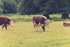 Toro con la famiglia nel campo degli agricoltori Fotografia Stock Libera da Diritti
