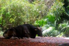 Toro de Banteng que descansa en cautiverio en parque zoológico Imágenes de archivo libres de regalías