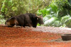 Toro de Banteng que descansa en parque zoológico Imagen de archivo
