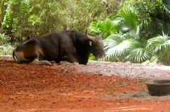 Toro de Banteng que miente en parque zoológico Fotos de archivo libres de regalías